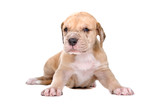 front view of a great dane puppy poster