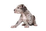 great dane puppy dog isolated on a white background poster