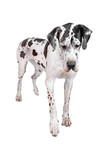 front view of a harlequin great dane dog poster