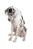 great dane dog looking down poster