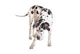 great dane dog harlequin playing poster