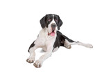 beautiful great dane dog isolated on a white background poster