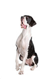 sitting and looking up great dane dog poster