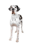 great dane dog isolated on a white background