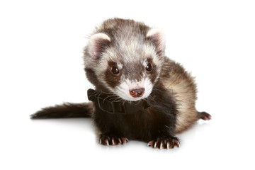 Ferret on a white background