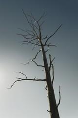 Dead tree against clear blue sky