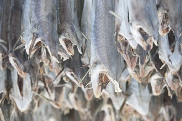 Dried cod stockfish in Loftofen, Norway for export to Italy