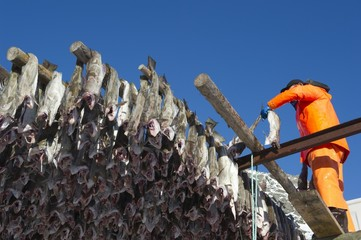 Man hanging fish on rack, Norway