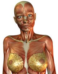 Muskelaufbau weiblicher Oberkörper