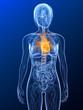 transparenter Körper mit markiertem Herz