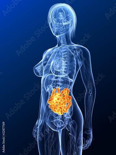 transparenter Körper mit markiertem Dünndarm