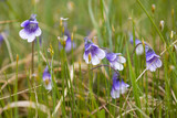 Flowers of  the carnivorous Butterwort poster