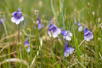 Flowers of  the carnivorous Butterwort