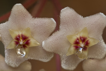 Flowers with drops of nectar of Wax plant (Hoya carnosa)