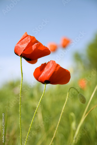 Beautiful flowers of red poppy