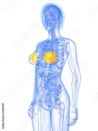 weibliche Anatomie mit markierten Brustdrüsen