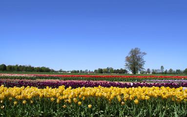 Dutch tulip garden