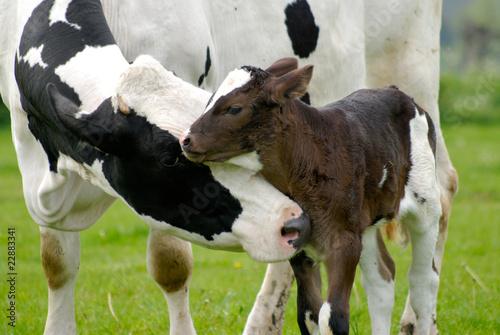 Foto op Aluminium Koe Kuh und Kalb auf saftiger Wiese