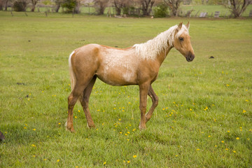 Palomino horse in field