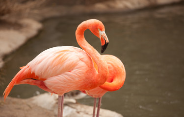 Beautiful Flamingo Couple Rest