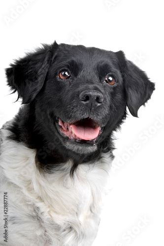 head of a stabyhoun dog isolated on a white background