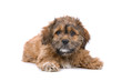 front view of a boomer puppy isolated on a white background