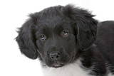 head of stabyhoun puppy isolated on a white background