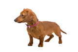 short haired Dachshund isolated on a white background