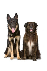 german shepherd dog and mixed breed dog
