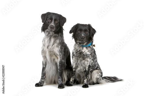 two stabyhoun dogs looking at camera