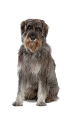 giant schnauzer looking at camera