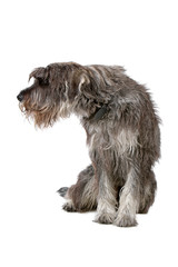 giant schnauzer isolated on a white background