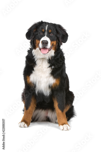 bernese mountain (berner sennenhund, bernois) looking at camera