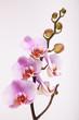 Fototapete Phalaenopsis - Rosa - Blume