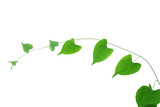 vine isolated on white background .