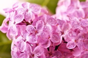 beautiful lilac background