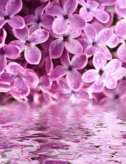 beautiful lilac above the water
