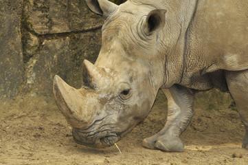Tête de rhinocéros blanc