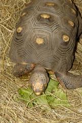 Repas de tortue charbonnière à pattes rouges