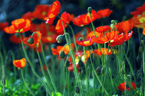 canvas print picture Papaver nudicaule - Islandmohn