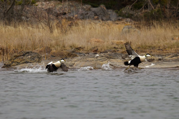Two male  Eiders