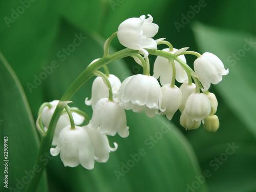 Foto op Aluminium Lelietje van dalen lily of the valley