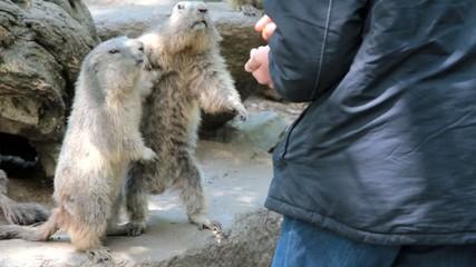 marmottes se disputant la nourriture