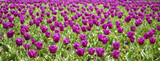 Field of tulip on sunny day-