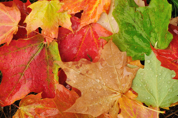 Many Colorful Maple Leaves