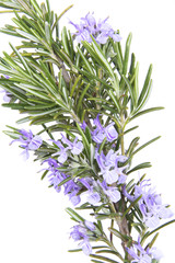 Herb rosemary, Rosmarin
