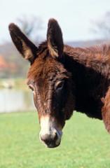 portrait d'un âne du Bourbonnais
