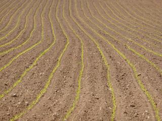 plantation maïs