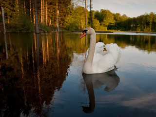 Swan in forest lake