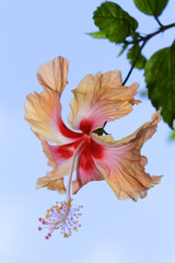 A hibiscus flower against a clear blue sky